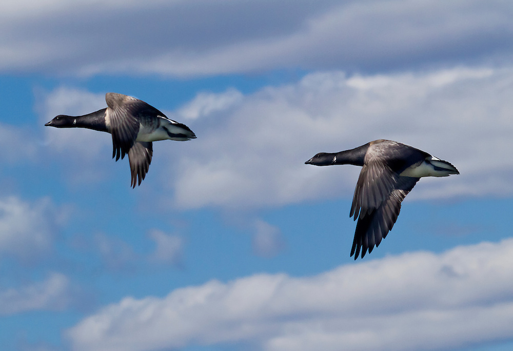 Two Brant' s Geese in flight. They are rarely seen in these parts. Usually only briefly in the Summer, when they sometimes come down from Arctic Canada for a visit.