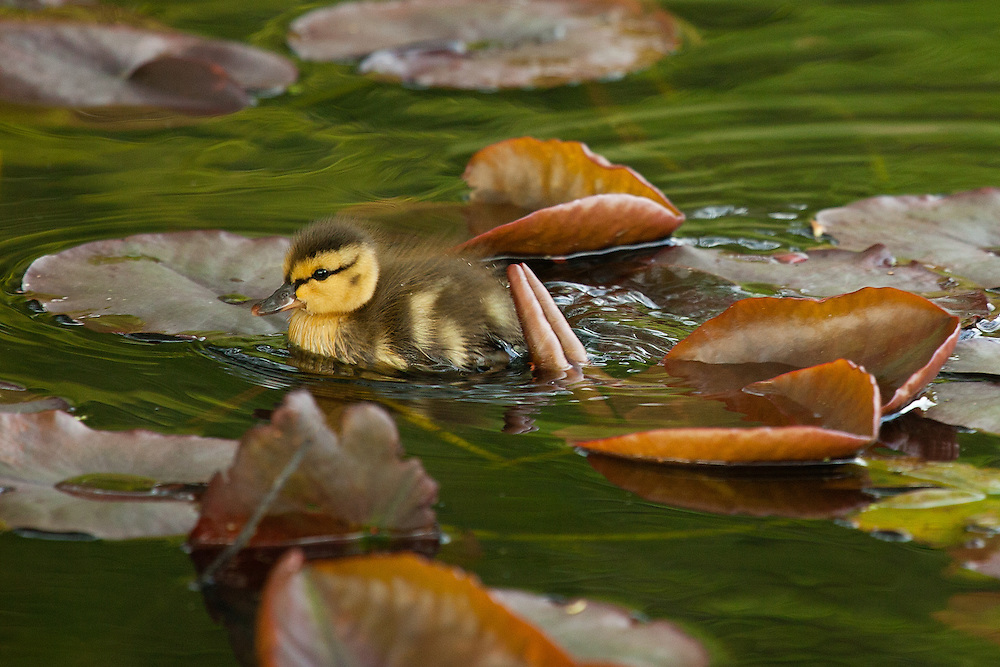 Duckling among lily pads, Bellingham, Washington