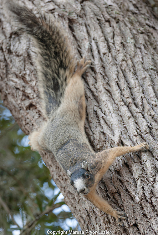 Sherman's fox squirrel in defense stance<br /> Sciurus niger shermani<br /> Central Florida<br /> Maresa Pryor