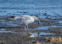 Herring Gull (Larus argentatus) eating snail, Crescent Beach, Nova Scotia, Canada