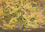 Stunning Autumn Maple Tree Portrait, Spokane, Washington