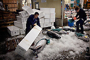 Tokyo, 1st of March 2010 - Tuna at Tsukiji wholesale fish market, biggest fish market in the world. 2:30 a.m, two men unpacking fresh tunas.