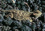 350101-1063 ~ Copyright: George H. H. Huey ~  Short horned lizard .[Phrynosoma douglassi]. Sunset Crater National Monument. Arizona.