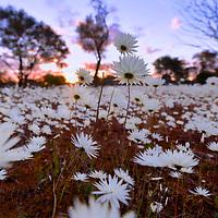 Wildflower Scenery - Western Australia