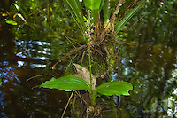 This is a common orchid in the Fakahatchee Strand during the hottest part of summer, and so far I have not seen it anywhere else but here. It is easily spotted by its large lettuce-like leaves growing fom any submerged log or cypress stump.