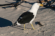 Kelp gull (Larus dominicanus), also known as the Dominican gull<br /> Boulders Beach African penguins (Sphenisus demersus) colony site<br /> Situated near Simon's Town in False Bay between Fish Hoek and Cape Point.<br /> Western Cape<br /> SOUTH AFRICA