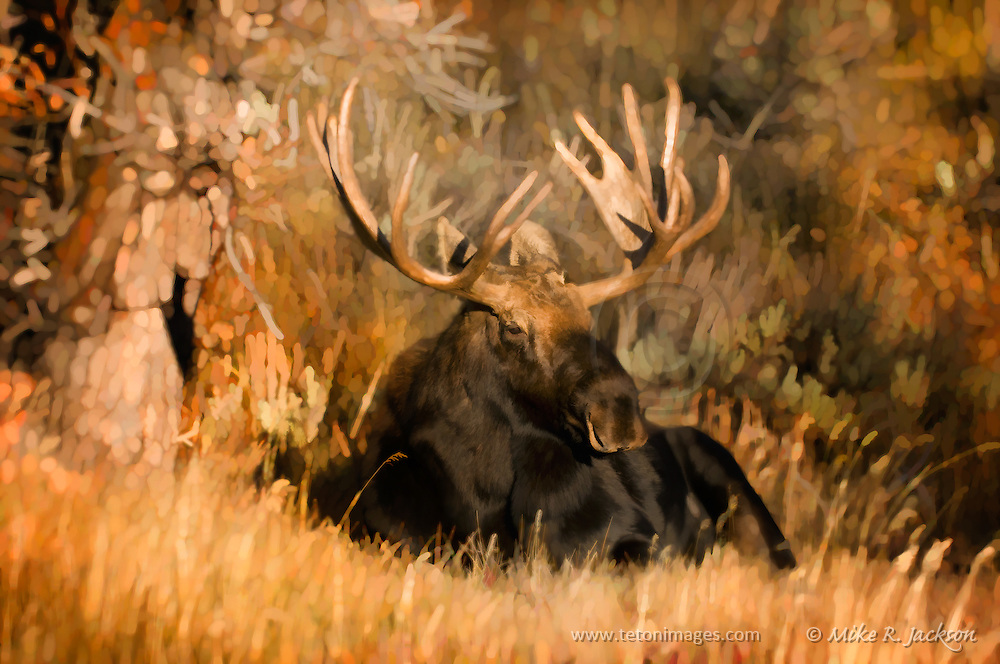 Painterly effects applied to a large bull moose in Grand Teton National Park during the fall rut. The male moose is resting in a clearing of grass.