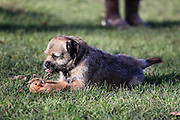 This is Mojo, a year-old border terrier