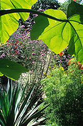 The exotic garden at Great Dixter. Looking through the leaves of Paulownia tomentosa with the sword shaped leaves of Furcraea longaeva and feathery Cosmos 'Yellow Garden'