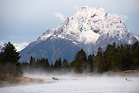 """A bull elk lets out a call to his harem after crossing the Snake River at dawn Thursday in Grand Teton National Park. The mating ritual called the """"rut"""" where bulls court cows into groups is drawing to a close, but the bulls will agressively guard their harems from other males for another couple weeks. After mating season the cows and bulls will split into groups of cows and bulls and will begin migrating to their winter feeding grounds. For most of the elk in Grand Teton National Park, this means a pilgrimage to the National Elk Refuge."""