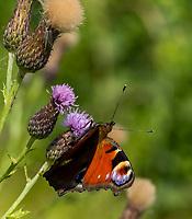 HALFWEG - insecten op de golfbaan , Dagpauwoog vlinder Amsterdamse Golf Club. (AGC)  . Insecteninventarisatie  COPYRIGHT KOEN SUYK