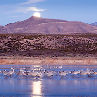 USA, New Mexico, Bosque del Apache National Wildlife Refuge, Sandhill Cranes (Grus canadensis) roosting on frozen lake beneath full moon in Rio Grande Valley on winter morning