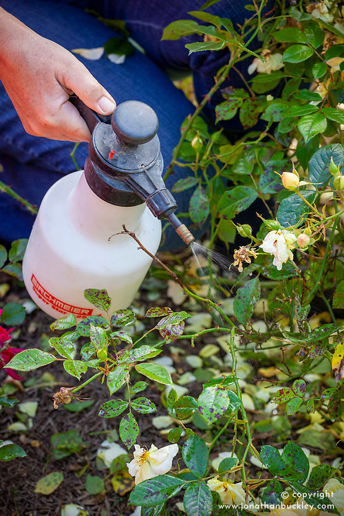 Spraying blackspot on roses with a hand spray
