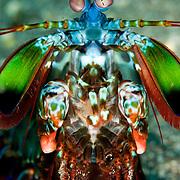 Mantis Shrimp Odontodactylus scyllarus in Lembeh Straits, Indonesia.
