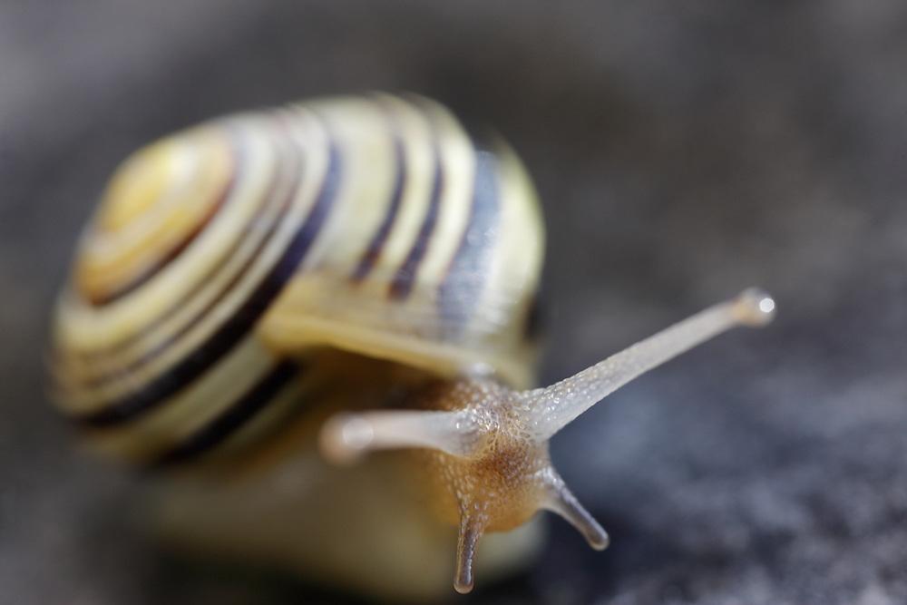 White-lipped snail ( Ceapea hortensis ) Ireland Burren region