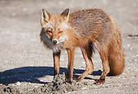 Red fox, Vulpes vulpes, foraging on the beach, Katmai National Park, Alaska