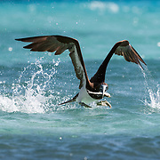This is a brown booby (Sula leucogaster) taking off from the ocean surface after catching a sardine., with the fish still struggling in the bird's beak.