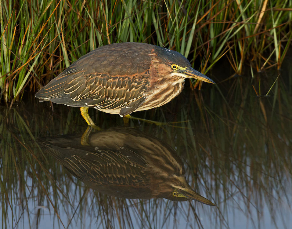 Green Heron (Butorides virescens), immature, Edwin B. Forsythe National Wildlife Refuge, Oceanville, New Jersey