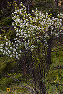 Western serviceberry in spring bloom at West Shore State Park near Lakeside, Montana, USA