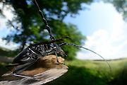 Great capricorn beetle (Cerambyx cerdo) on oak | Großer Eichen-Bock (Cerambyx cerdo) auf Eiche