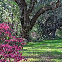 Azalea bush and live oaks, Magnolia Plantation, near Charleston, South Carolina