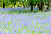 Bluebells flowering in bluebell wood in The Cotswolds, UK