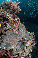 Orange Anemonefish at home under the morning sun<br /> <br /> Shot in Indonesia