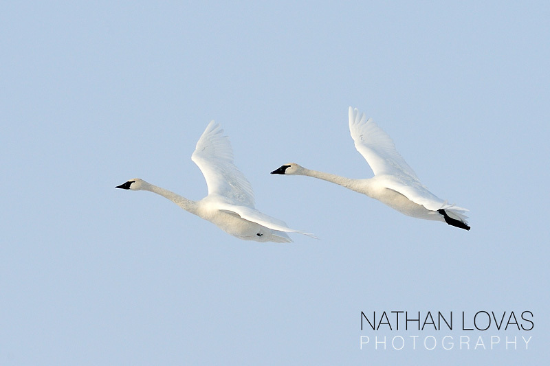 Trumpeter Swan (Cygnus buccinator) adults in flight;  Minnesota.