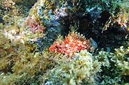Red scorpionfish-Rascasse rouge (Scorpaena Notata) Pico Island, Azores Archipelago.