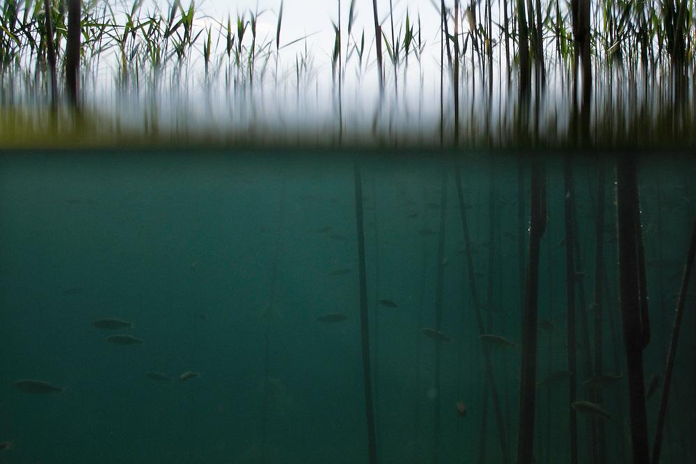 Shoal of Lake Ohrid Bleak, Alburnus scoranza (Teleostei, Cyprinidae), swimming amongst Giant Reed, Arundo donax, along the shore of Lake Ohrid.<br /> Lagadin region. Lake Ohrid (693m).<br /> Galicica National Park, Macedonia, June 2009<br /> Mission: Macedonia, Lake Macro Prespa /  Lake Ohrid, Transnational Park<br /> David Maitland / Wild Wonders of Europe