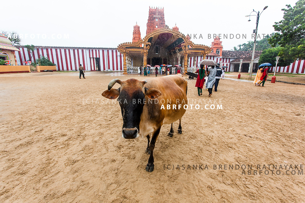 The sacred cow out the front of the hindu Nallur Kandaswamy temple or kovil. On a rainy That Pongal day.