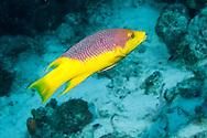 Spanish Hogfish - Bodianus rufus