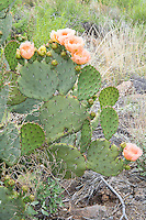 The spiny-fruited prickly pear (Opuntia x spinosibacca) is a naturally occurring hybrid between two overlapping Opuntia species (O. aureispina and O. phaeacantha) found in the Big-Bend Region of Texas and is believed to be reproducing with others of the same hybrid in the wild, which is a common way over time we end up with distinct new species. In some circles, it is already being referred to as a unique species: Opuntia spinosibacca. Although they are considered rare in the wild, I happened to find many hundreds of them in bloom like this one spread out in the lowland region north of the Chisos Mountains in Big Bend National Park in West Texas near the Rio Grande.