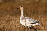 A Snow Goose foraging near the beach at Iona Beach Regional Park in Richmond, British Columbia, Canada.  Delta and Richmond fields and wetlands are often a stop over for the Snow Geese as they migrate from their summer breeding grounds to warmer winter habitat.