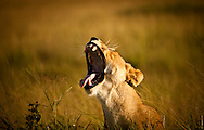 Early Morning Yawn - African Lion - Maasai Mara Game Reserve, Kenya, Africa: This image of a Lioness was taken as she yawns after arising from a nap. Edition on 100 EXP0322