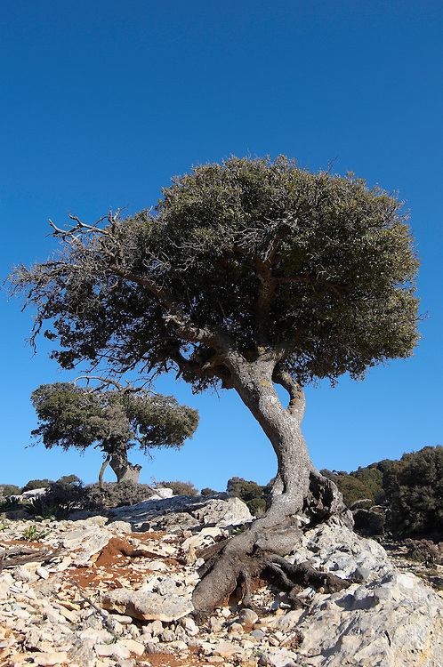 Kermes Oak (Quercus coccifera), Kritsa, Crete