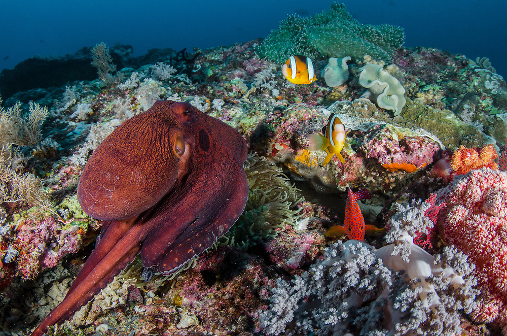 Day Octopus (Octopus cyanea) & Clark's Anemonefish (Amphiprion clarkii) & Magnificent Sea Anemone (Heteractis magnifica)<br /> Raja Ampat<br /> West Papua<br /> Indonesia