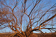 Tree in spring along the Red River<br /> Lockport<br /> Manitoba<br /> Canada