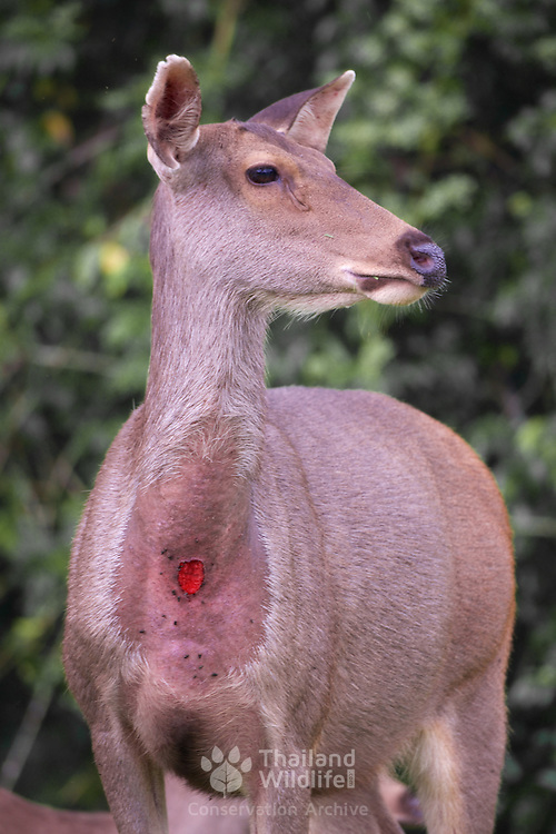 Rusa unicolor, Sambar Deer in Phi Khieo Wildlife Sanctuary, Thailand. Adult males and pregnant or lactating females possess an unusual hairless, blood-red spot located about halfway down the underside of their throats. This sometimes oozes a white liquid, and is apparently glandular in nature.
