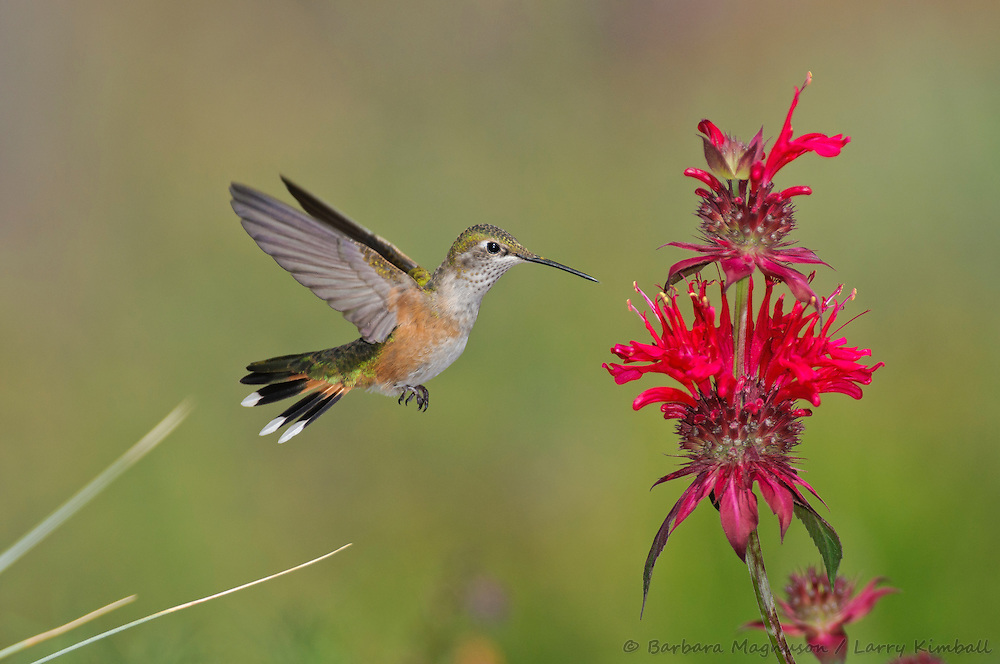 Broad-tailed Hummingbird [Selasphorus platycercus] female, visiting .Bee Balm flowers; Fremont County, Colorado