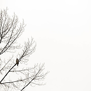 Juvenile bald eagle perched in tree - Skagit Valley, WA