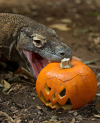 © Licensed to London News Pictures. 30/10/2012. London, UK. Raja, the London Zoo komodo dragon recently featured in 'Skyfall - the most recent James Bond film - , sinks his teeth into a carved Halloween pumpkin as the animals of London Zoo join in with Halloween festivities in London today (30/12/12). Photo credit: Matt Cetti-Roberts/LNP
