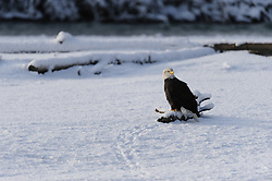This photo is part of a sequence in which a bald eagle drags a salmon from the Chilkat River only to eat it in front of the eagle that it dragged it up to. In this image (first of the twelve image sequence) an eagle has walked from the river bank to sit on a log. The photo was taken in the Alaska Chilkat Bald Eagle Preserve near Haines, Alaska.