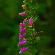 Flower blossoms in Julia's Gulch - Northeast Tacoma, WA