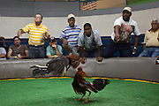 Cock fight at the Aguada Gallera in Puerto Rico. Cockfighting is still legal in the US Territory.