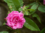 A close-up of Rosa Zepherine Drouhin, a climbing Bourbon rose in East Lambrook Manor Gardens, South Petherton, Ilminster, Somerset, UK