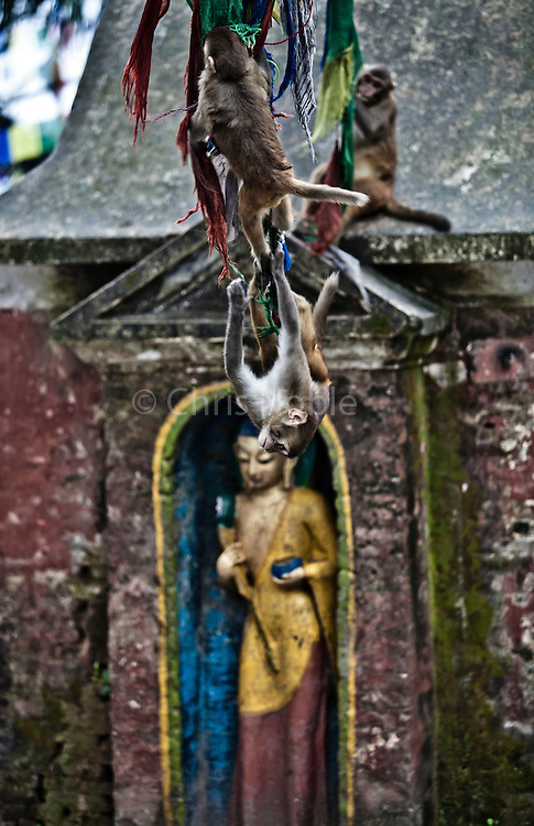 Macaque monkeys playing on Prayer flags at Swayambunath one of the holiest temple sites in Kathmandu Nepal.