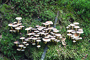 Pilze auf Moos, Herbst Wald bei Hinterhermsdorf, Sächsische Schweiz, Elbsandsteingebirge, Sachsen, Deutschland | mushrooms on moss, autumn forest near Hinterhermsdorf, Saxon Switzerland, Saxony, Germany