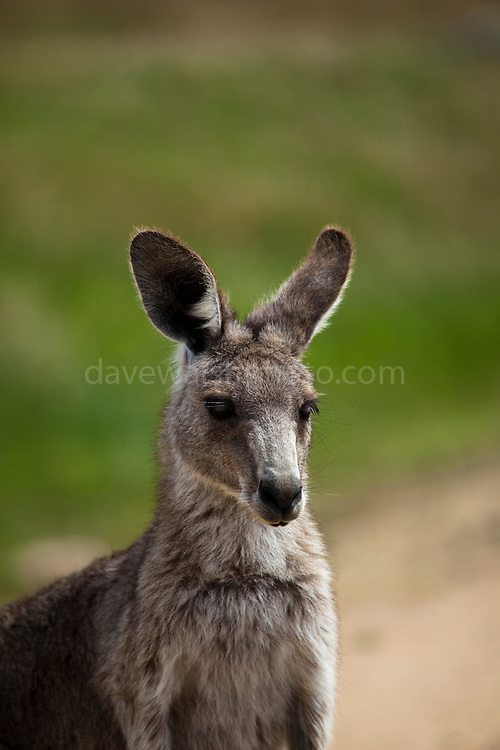 Eastern Grey Kangaroo, at Tom Groggins, Mount Kosciuszko National Park