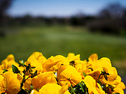 04 MAY 2018 - PLYMOUTH, MINNESOTA: Flowers blooming at Hollydale Golf Course in Plymouth, MN. PHOTO BY JACK KURTZ